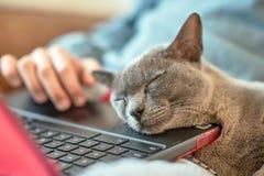 Sova den brittiska katten på bärbara datorn arkivfoto