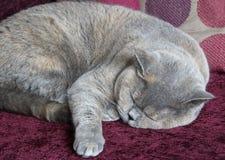 Sova den brittiska shorthairkatten Royaltyfri Foto
