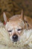 Sova den bruna chihuahuaen Arkivfoto