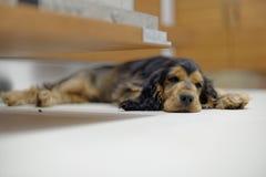 Sova den engelska cockerspanieln Arkivfoto
