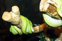 Sova den gröna boaen på en filial royaltyfri foto