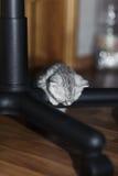 Sova den gulliga gråa kattungen på benen av stolen Slokörad Sc Royaltyfria Foton