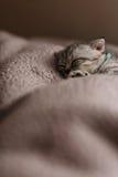 Sova den gulliga gråa kattungen på sängen Slokörad skotsk katt Fotografering för Bildbyråer