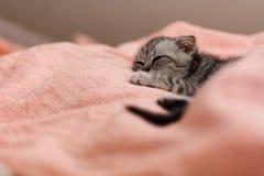 Sova den gulliga gråa kattungen på sängen Slokörad skotsk katt Royaltyfri Bild