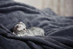 Sova den gulliga gråa kattungen på sängen Slokörad skotsk katt Royaltyfri Foto