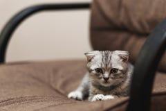 Sova den gulliga gråa kattungen på stol Slokörad skotte Arkivfoton