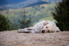 Sova den gulliga hunden Fotografering för Bildbyråer
