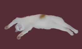Sova den japanska katten royaltyfri fotografi