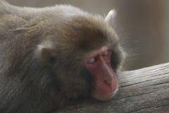 Sova den japanska macaqueståenden Royaltyfri Bild