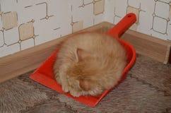 Sova den ljust rödbrun kattungen Royaltyfri Fotografi
