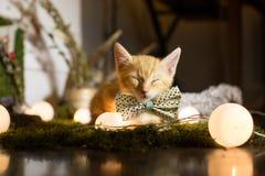 Sova den röda kattungen bind en fluga arkivbild