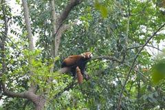 Sova den röda pandan - liten panda - i Chengdu royaltyfria bilder
