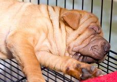 Sova den Sharpei hunden. Arkivbilder