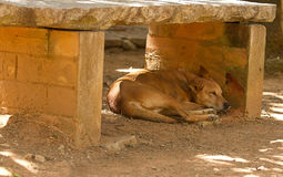 Sova den vilda hunden Arkivbilder
