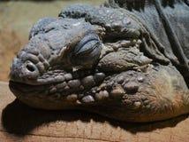 Sova draken Royaltyfri Fotografi