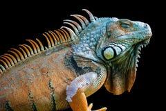 Sova draken - grön leguan som isoleras på svart Arkivbilder