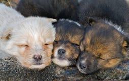 sova för 3 valpar Arkivfoto