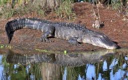 sova för alligator Arkivbilder