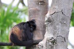sova för apa Arkivfoto