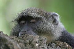 sova för apa royaltyfria foton
