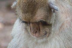 Sova för apor royaltyfri fotografi
