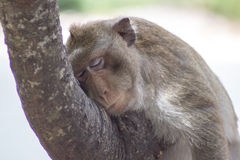 Sova för apor royaltyfria bilder
