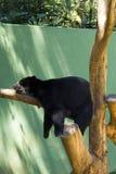 sova för björn Arkivbilder