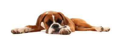sova för boxarehund Royaltyfria Bilder