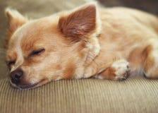 sova för chihuahua Arkivfoton