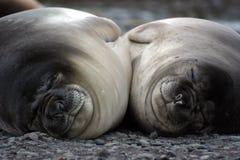 sova för elefantskyddsremsor Royaltyfria Bilder