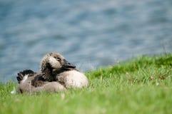sova för gosling arkivfoton