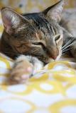 sova för katt Royaltyfri Foto