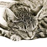 sova för katt Fotografering för Bildbyråer