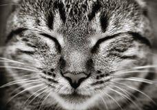 sova för kattcloseupframsida Royaltyfri Foto