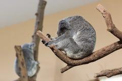 Sova för koala Royaltyfri Foto
