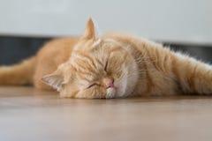Sova för kort hår för älskvärd katt amerikanskt Arkivfoto