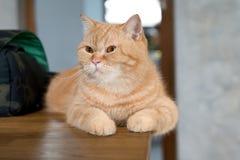 Sova för kort hår för älskvärd katt amerikanskt Fotografering för Bildbyråer