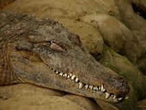 sova för krokodil arkivbild