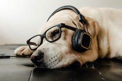 Sova för labradorhund och headphone och exponeringsglas på sängen Royaltyfri Bild