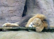 Sova för lejon Royaltyfri Foto