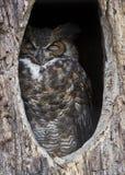 sova för owl Arkivbild