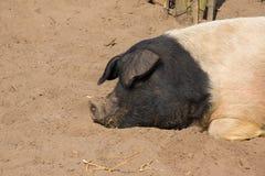 sova för pig Royaltyfri Bild