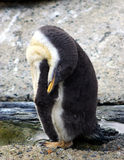 sova för pingvin Royaltyfri Fotografi