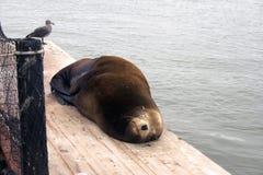 Sova för sjölejon Royaltyfri Fotografi