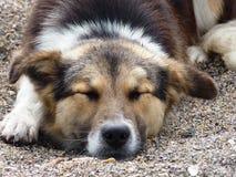 sova för strandhund Royaltyfri Bild