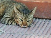 Sova för strimmig kattkatt Arkivbild