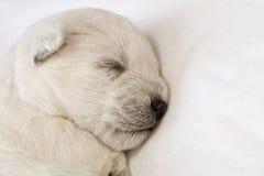 sova för valp arkivfoton