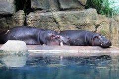 Sova flodhästar på den konkreta banken av det konstgjorda dammet royaltyfria bilder