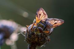 Sova flugan i solen Royaltyfria Bilder