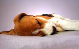 sova för beaglehund Fotografering för Bildbyråer